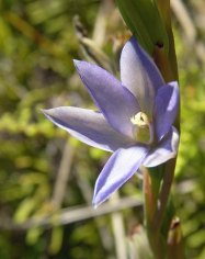 Thelymitra circumsepta (Naked Sun Orchid). This photograph was taken on the 28th December 2010